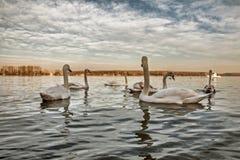 Swan See Lizenzfreies Stockbild