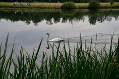 Swan See Stockbilder