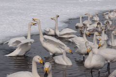 Swan See in Hokkaido Stockfotos