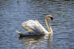 Swan See - Porträt eines würdevollen Schwans lizenzfreies stockfoto