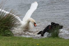Swan sees off an attack by dog Royalty Free Stock Photography