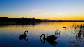 Swan Serene Sunset. A serene sunset in Bullocky`s Rest, Queensland, Australia. Some local characters swanning about amongst the reeds stock photos