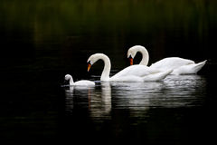 Swan Serenity Royalty Free Stock Image