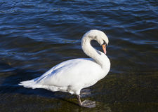 Swan in the Serpentine in Hyde Park Stock Photo