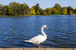 Swan at the Serpentine in Hyde Park Royalty Free Stock Images