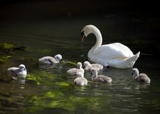 Cygnets with Mother Swan in River Avon. Swan with seven beautiful wildlife cygnets Royalty Free Stock Images