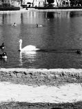 Ducks and Swan coasting through the lake. A swan and several ducks are swimming in the lake at City Park Stock Images