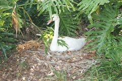 Swan in the Shade Stock Photography