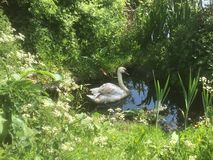 Swan in the shade Stock Image