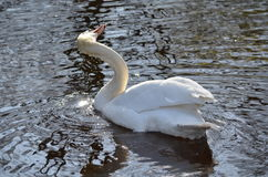 Swan shaking the water off it's head Royalty Free Stock Image
