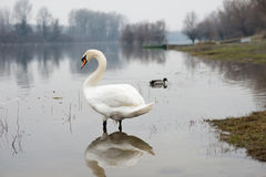 Swan in shallow Stock Image