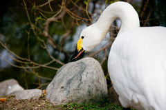 The swan sharpens a beak. The white swan sharpens a yellow-black beak about a stone Stock Photo