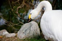 The swan sharpens a beak. The white swan sharpens a yellow-black beak about a stone stock photo