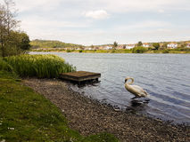Swan on the Shore Royalty Free Stock Image