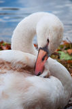 Swan on the shore of a lake Stock Image