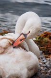 Swan on the shore of a lake Stock Photography
