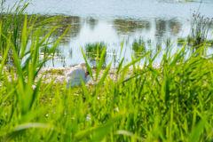 Swan on the shore of a lake in sunlight Royalty Free Stock Images