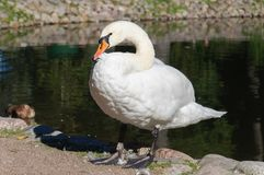 Swan on the shore of the pound royalty free stock images