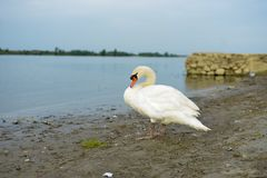 Swan on a shore of a river. Swan is on a shore waiting for something Stock Photography