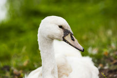 A swan at the shore. At `s-Gravenzande, Netherlands Stock Photography