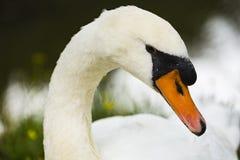 A swan at the shore. At `s-Gravenzande, Netherlands Royalty Free Stock Photo