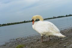 Swan. Is on a shore waiting for something Royalty Free Stock Photography