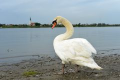 Swan going into the river. Swan is on a shore waiting for something Stock Photos