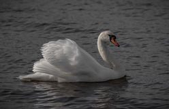 Swan showing off. In Larvik, Norway Stock Image