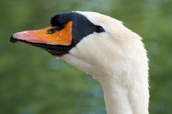 Swan from the Side Stock Photography
