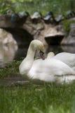 Swan Siesta Stock Image
