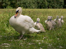 Swan with Signets Royalty Free Stock Photography