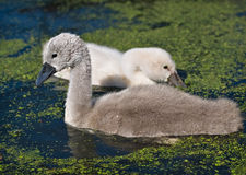 Swan signets Royalty Free Stock Images