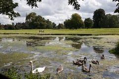Swan & Signets at Charlecote Park Stock Image