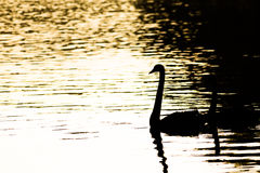 Swan silhouette. Swan during sunset at lake, swan silhouette royalty free stock image