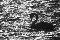 Swan silhouette in sunset, Victoria, BC Royalty Free Stock Photography