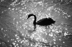 Swan silhouette. Silhouette of a swan swimming on a glittering lake Stock Images