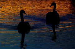 Swan silhouette Royalty Free Stock Images