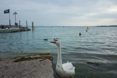 Swan in Sirmione. A swan in Sirmione, Italy Royalty Free Stock Photo