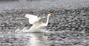 The swan sits down on water Royalty Free Stock Photos