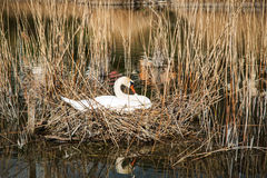 Swan sitting on its eggs. In the middle of a pond Royalty Free Stock Images