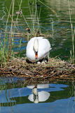 Swan sitting on its eggs. In the middle of a pond Royalty Free Stock Photography