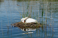 Swan sitting on its eggs. In the middle of a pond Stock Image