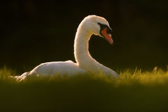 Swan Sitting on Nest Royalty Free Stock Photography