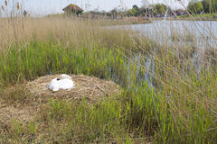 Swan sitting on a nest of eggs by a lake Stock Photo