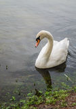 A swan sitting by the shore in a pond. Stock Photography