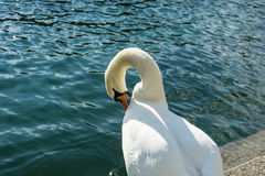 Swan sitting on stairs next to a lake cleaning himself Royalty Free Stock Photo