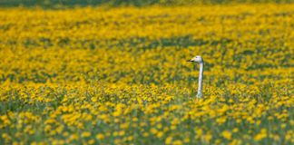 Swan sitting in the yellow flowers. On the field. Spring time Royalty Free Stock Image