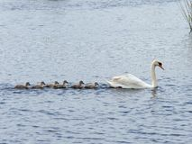 Swan with six cygnets. A Swan with six cygnets swimming in line across a lake stock photo
