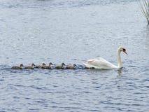 Swan with six cygnets Stock Photo