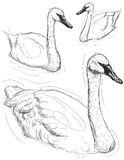 Swan sketches. Hand drawn sketches of swans Royalty Free Stock Photos